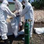 禽流感再傳疫情 雲林、屏東等地鴨場皆爆H5N2確診案例