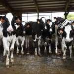 自己的牛奶自己擠》斷交危機延燒 卡達進口4000頭乳牛紓解乳品短缺