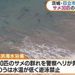 日本海水浴場驚見大批鯊魚 業者緊急禁止民眾下水