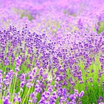 7月到9月夏季期間限定!關西5大花見名所,薰衣草、向日葵、大波斯菊賞花趣