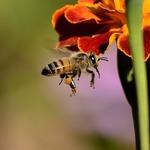 被蜜蜂螫,需要送醫急救嗎?急診室醫師這樣告訴你…