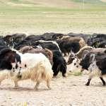 野狼咬牛、棕熊咬人 在世界最高的自然保護區 人與野生動物「最大的矛盾」