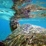 迷途綠蠵龜徘徊太平島 海巡署引導重返大海