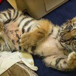 「向街上遛老虎的人買的」 美國少年走私超萌虎寶寶被逮