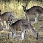 為何澳洲人要提倡「吃」袋鼠?這驚人數字揭露藏在生態環境背後的隱憂…