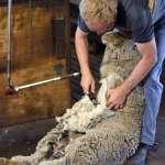 痛毆綿羊只為剃掉身上的毛》揭露牧羊人虐羊黑幕 動保組織呼籲拒穿羊毛製品