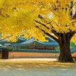 這季節最Pro的行程,就是去韓國賞金黃銀杏與紅楓!景色絕不輸日本,3大地標全公開