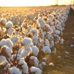 【Gene思書齋】都是棉花惹的禍?19世紀資本主義征服全球的關鍵產業