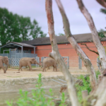 丹麥動物園當眾宰殺長頸鹿餵獅子!引發抗議卻不悔 動物園生存法則下其實有殘酷真相