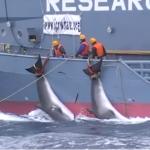 【愛動物者慎入】怕日本生氣!澳洲壓下血腥捕鯨影片9年 環團力爭終於公開