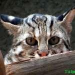 開發與保育戰火越演越烈!苗縣議員仍不放行 全台首部石虎保育專法恐持續難產