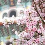 櫻花開了!不必飛日本,台北走春7大賞櫻名所在這裡,考慮住宿5間旅館供參考