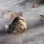 【影音】蝦咪?結凍的湖面上怎麼有鱷魚嘴?機智鱷魚使用「冰封法」過冬!