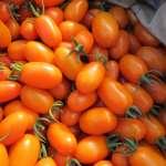 高雄美濃橙蜜香番茄 吸青農返鄉開創事業