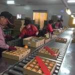 嘉義柑橘品質優 南向外銷達2萬箱