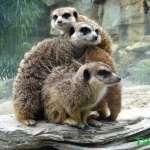 可愛度爆表!喊點名就乖乖現身排排站,17隻狐獴寶寶萌翻台北動物園!