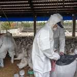 又爆發新傳染病!農委會:坦布蘇病毒會人畜共通傳染,吃鴨蛋要煮熟