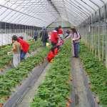 台北市也可以採草莓!來內湖的白石湖休閒農業區就對了