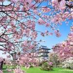 來不及在台灣賞櫻?機票訂下去,5月北海道還能看到粉櫻飛舞,6大賞櫻名所整理