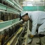 一遇禽流感,台灣政府就只會撲殺賠償?看香港這位養雞達人如何抓到關鍵杜絕疫情