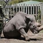 物種滅絕悲歌》全球最後1隻雄性北非白犀牛「蘇丹」接受安樂死