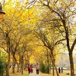 櫻花季過後,黃花風鈴木接力!盤點全台4大「金黃仙境」,花期僅2週、打卡詢問度破表