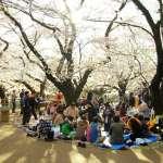 春天賞櫻之旅,為何成了公司菜鳥的「戰場」?一場櫻花季,揭露日本殘酷的職場生態