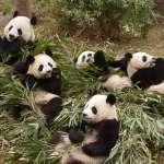 中國把貓熊當禮物四處送,竟然從唐朝就開始!揭開中國貓熊外交史:這位皇帝是第一人