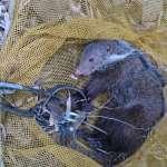 非法放置危險捕獸鋏 保育類食蟹獴無辜受傷