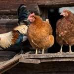 「人道飼養」必定會讓養雞戶虧本?他道出驚人實例:雞農營收不減反增