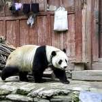 四川超萌大貓熊闖山村、逛大街 原來是發情期出外找「野男人」