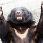日本秋田縣遭遇「熊熊危機」!縣民疑似被熊襲擊致死、開車也會撞到熊