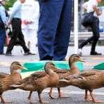 4隻小鴨搬往鴨川 15名警官當「貼身保鑣」