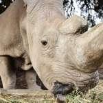 絕種的北白犀牛有救了!德國動物學家成功培育出白犀牛胚胎