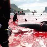 北歐版「血色海灣」!丹麥法羅群島捕鯨傳統遭抨擊「虐殺鯨魚」 當地人反駁:這是我們的食物來源與文化!