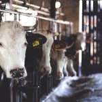 國際廣角鏡》新冠疫情引爆波羅的海牛奶戰爭