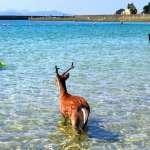 熱到連鹿都來泡水 京都海水浴場遊客好吃驚