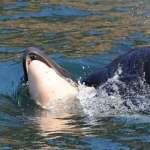最漫長的告別:虎鯨媽媽托幼鯨屍體共游17天後放手