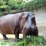 愛在水裡大便! 台北動物園21日清掃河馬池 「遍地黃金」任你看