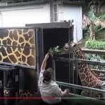 「突然倒地吐出飼料」頑皮世界動物園雄性長頸鹿「宵順」驚傳猝死 享年7歲
