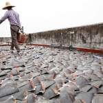 為了吃魚翅,人類每年捕殺上億條鯊魚!學者警告:傷害海洋生物鏈,觀光業也遭受重創