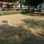 輕軌預定地行道樹移植 高捷邀集專家意見