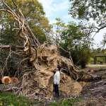 風災後巨木樹根冒出地面 大阪植物園反向操作開放參觀
