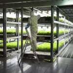 太壯觀了!京都打造世界最大「室內菜園」,不用農藥、不怕爛天氣,日產3萬高品質萵苣!