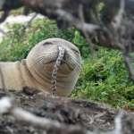 這是一種流行?夏威夷僧海豹鰻魚插鼻孔!科學家百思不得其解