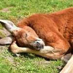「筋肉照」紅遍全球!澳洲網紅袋鼠過世 全球百萬粉絲齊哀悼:羅傑,安息吧!