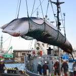 學川普「不爽就退群」?日本將退出國際捕鯨委員會 環保團體痛批:成了「海盜捕鯨國」