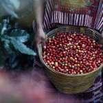 咖啡迷末日?極端氣候肆虐、衝擊全球產地 30年內將短缺1.8億袋咖啡豆!