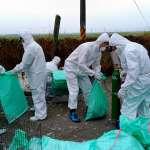 又傳禽流感!屏東肉鴨場出現H5N2確診案例,現場撲殺6510隻鴨