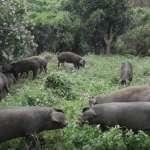 台糖歷10年養出森悅豬 極品肉質僅在臺北101餐廳